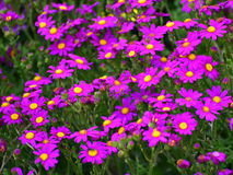 Beautiful purple flowers along the coast of Griffiths Island in Victoria Stock Photos