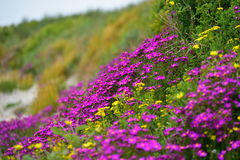 Beautiful purple flowers along the coast of Griffiths Island in Victoria Stock Images
