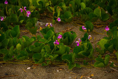 Beautiful purple flowers on the beach with green leaves, Philippines. Beautiful purple flowers on the beach with green leaves. Pandan, Panay island, Philippines Stock Image
