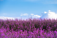 Beautiful Purple Flowers and blue sky. Beautiful Purple Radiant Orchid is the color for 2014) Flowers and blue sky royalty free stock images