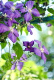 Beautiful purple flowers of clematis over green background. Royalty Free Stock Images