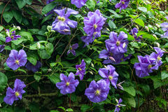 Beautiful purple flowers of clematis over old garden wall Stock Image