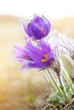 Beautiful purple flowers, dream herb Stock Photos