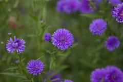 Beautiful purple flowers in a field. Beautiful purple flowers in a green field royalty free stock image