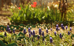 Beautiful purple flowers in the flowerbed Stock Photography