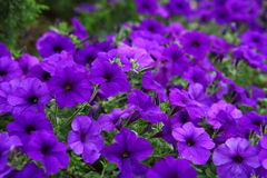 Beautiful purple flowers. Flowerbed beautiful purple flowers purple Petunia Blue fantasy stock images