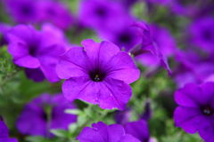 Beautiful purple flowers. Flowerbed beautiful purple flowers purple Petunia Blue fantasy royalty free stock photo
