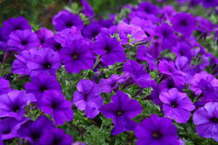 Beautiful purple flowers Stock Images