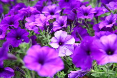 Beautiful purple flowers. Flowerbed beautiful purple flowers purple Petunia Blue fantasy royalty free stock photography