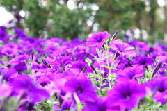 Beautiful purple flowers. Flowerbed beautiful purple flowers purple Petunia Blue fantasy stock photography