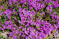 Beautiful purple flowers in the flowerbed spring Royalty Free Stock Image