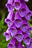 Beautiful purple flowers. In the garden Stock Photos