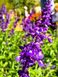 Beautiful purple flowers in garden royalty free stock images