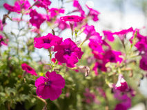 Beautiful purple flowers in the garden Royalty Free Stock Photos