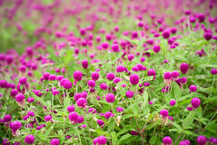 Beautiful purple flowers - gomphrena globosa Royalty Free Stock Photos