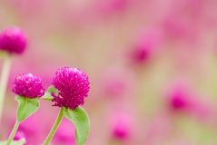 Beautiful purple flowers - gomphrena globosa Stock Images