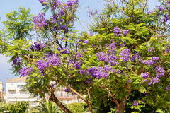 Beautiful purple flowers on a green Jacaranda tree. People`s houses backgorund. Greece, Corfu island Royalty Free Stock Photo