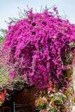 Beautiful purple flowers on a green Jacaranda tree. People`s houses backgorund. Greece, Corfu island Royalty Free Stock Image