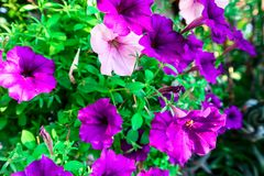 Beautiful purple flowers and green leaves in a small garden. Beautiful purple flowers and leaves in a small garden stock photos