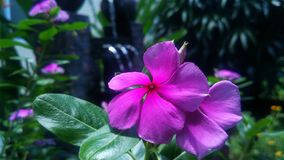 Beautiful purple flower in the garden. royalty free stock images