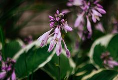 Beautiful purple flowers hosta, funkia on a green blurred background closeup. Decorative garden plant with large green stock photos