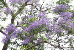 Beautiful purple flowers of Jacaranda Stock Image
