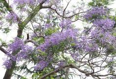 Beautiful purple flowers of Jacaranda. Jacaranda falls in the species which shrubs to large trees. The flower are beautiful  blue to purple in colors Stock Image