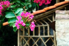 Beautiful purple flowers Lagerstroemia on the background of a gazebo. royalty free stock photos