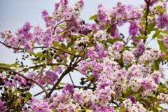 Beautiful purple flowers Lagerstroemia floribunda. Lagerstroemia loudonii flower or Lagerstroemia floribunda of blooming in the tropics garden summer royalty free stock image