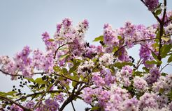 Beautiful purple flowers Lagerstroemia floribunda. Lagerstroemia loudonii flower or Lagerstroemia floribunda of blooming in the tropics garden summer stock photography