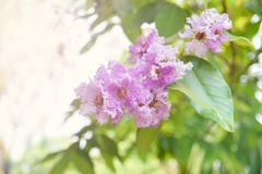 Beautiful purple flowers Lagerstroemia floribunda. Lagerstroemia loudonii flower or Lagerstroemia floribunda of blooming in the tropics garden summer royalty free stock photo