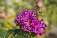 Beautiful purple flowers royalty free stock image