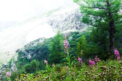 Beautiful purple flowers in a mountain area. In the green grass on a summer day Royalty Free Stock Images