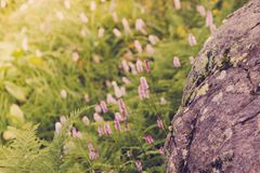 Beautiful purple flowers in a mountain area. In the green grass on a summer day Royalty Free Stock Photo