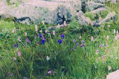 Beautiful purple flowers in a mountain area. In the green grass on a summer day Stock Image