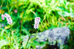Beautiful purple flowers in a mountain area. In the green grass on a summer day Royalty Free Stock Photography