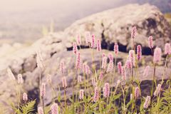Beautiful purple flowers in a mountain. Area in the green grass on a summer day Royalty Free Stock Images