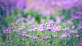 Beautiful purple flowers, natural summer background, blurred image. Inspirational nature concept stock photo