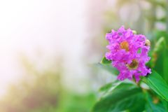 Beautiful purple flowers near the house fence. Lagerstroemia speciosa Pride of India, beautiful purple flowers near the house fence, soft color tone Royalty Free Stock Image