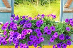Beautiful purple flowers on old wood vintage window. Stock Images