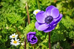 Beautiful purple flowers. Picture of beautiful purple flower in garden at spring surrounded by white flowers and green leaves stock photos