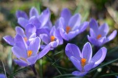 Beautiful purple flowers in Russia royalty free stock photo