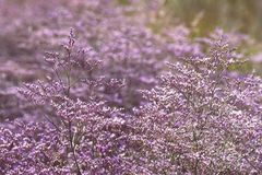 Beautiful purple flowers of Sea Lavender. royalty free stock image