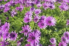 Beautiful purple flowers in spring Stock Photos