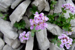 Beautiful purple flowers on stones. Wild flowers on the green bush, beautiful flowers in blossom Stock Images