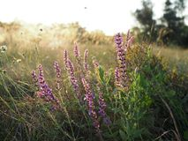 Beautiful purple flowers on a summer meadow at sunset royalty free stock photos
