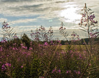 Beautiful purple flowers in the sun. Beautiful purple flowers in a meadow on a summer evening Stock Photo