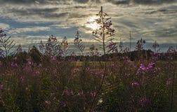 Beautiful purple flowers in the sun. Beautiful purple flowers in a meadow on a summer evening Stock Image
