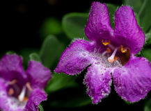 Beautiful Purple Flowers of Urban Desert Shrub Royalty Free Stock Photos
