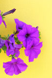 Beautiful purple flowers on a yellow background. Royalty Free Stock Photography